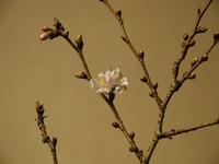 師走の桜 1