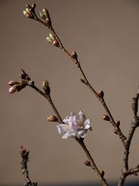 師走の桜 2