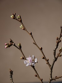 師走の桜 3