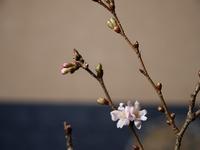 師走の桜 4